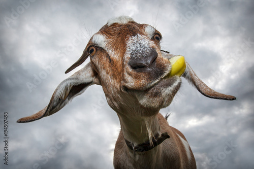 Funny brown goat chew yellow apple and smiling Canvas Print