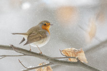 Winter Robin In A Beech Tree