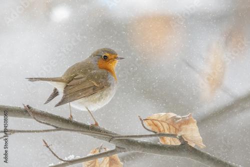 Winter robin in a beech tree Wallpaper Mural