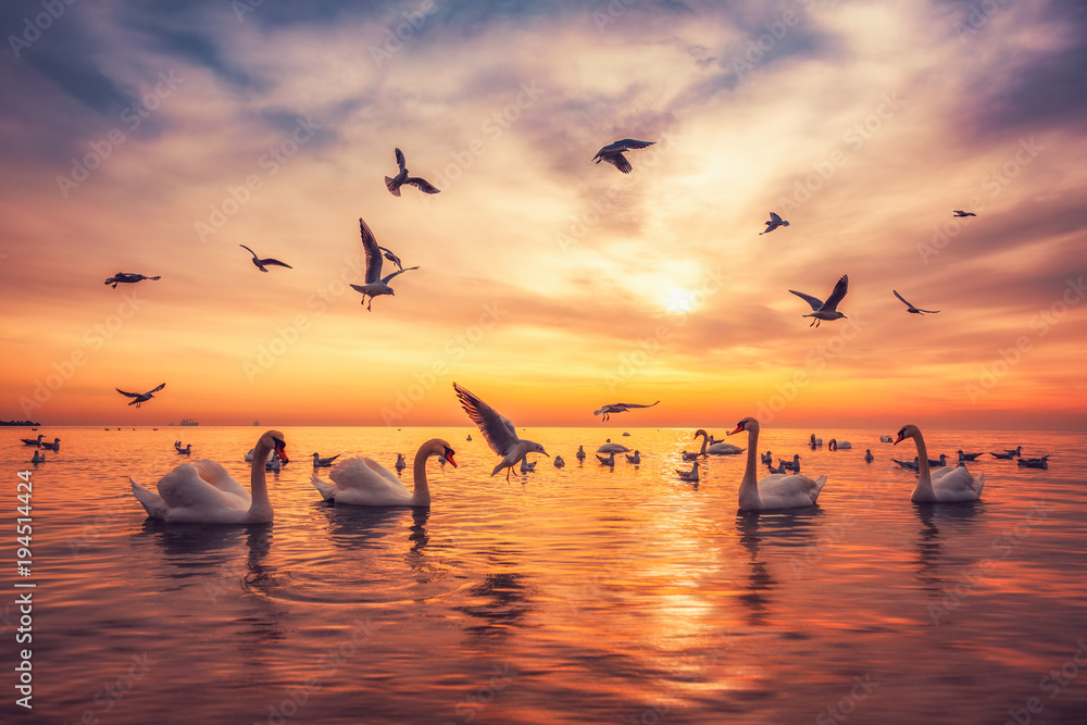 White swans in the sea,sunrise shot