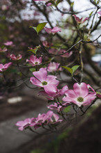Oregon Dogwood Flowers