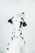 Studio Portrait Of A Dalmatian...