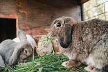 Lop Bunnies Eating Grass