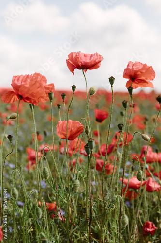 Fotobehang Poppy Red field poppies