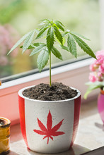 Marijuana Growing In Pot With Canadian Flag To Symbolize Legalization