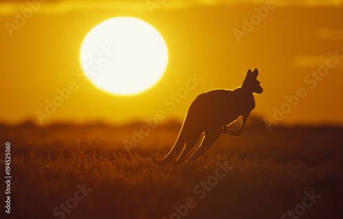 Spoed Foto op Canvas Kangoeroe .Kangaroo in Sunset in Sturt National Park in the far west of NSW