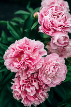 Large Peonies Blooming In A Garden