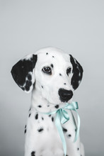Studio Portrait Of Dalmatian P...