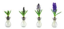 Purple Hyacinth Growth Stage I...