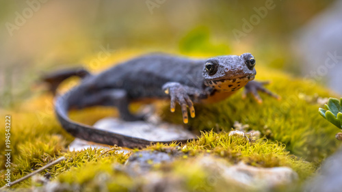 Alpine newt sideview on moss and rocks