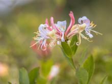 Perfoliate Honeysuckle Flowers