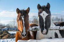 Pair Of Horses In Winter