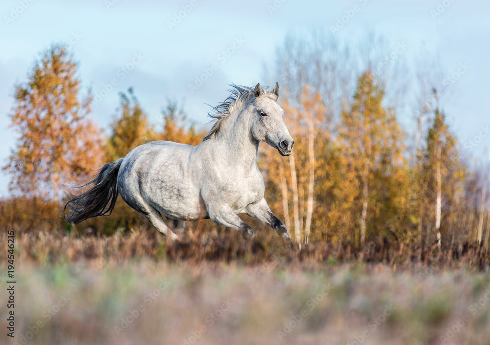 Purebred Arabian horse running free on a meadow.