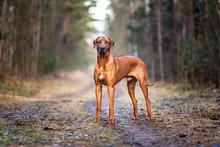 Portrait Of A Rhodesian Ridgeback Dog In An Autumn Forest.