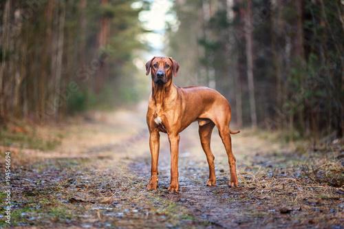 Fotografie, Obraz  Portrait of a Rhodesian ridgeback dog in an autumn forest.