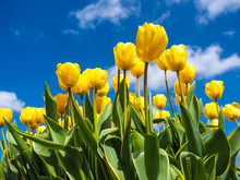 Yellow Tulips Over A Blue Sky
