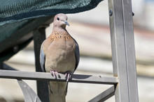 Colorful Fat Laughing Dove Per...
