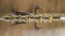 Greylag Geese (Anser Anser) Wi...