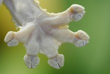 Close Up Of Gecko Foot With Grips On Toes