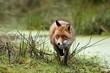 Red fox at brook
