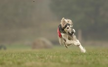 Saluki, Greyhound Coursing, Hoope, Lower Saxony, Germany, Europe