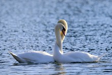 Mute Swans (Cygnus Olor), Pair...