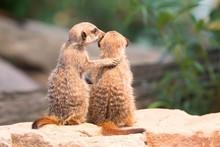 Two Meerkats (Suricata Suricat...