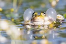 Edible Frog (Pelophylax Escule...