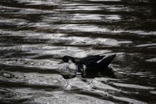 Black Swedish Duck Floating Ac...