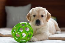 Golden Retriever Puppy Boy Pla...