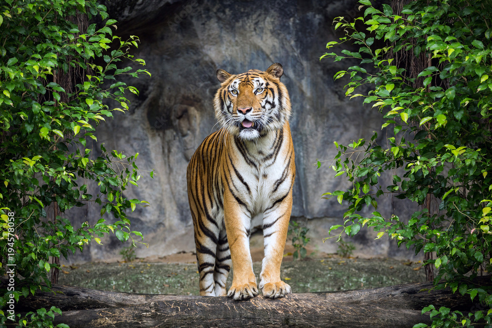 Fototapeta Tiger is standing in the forest atmosphere.