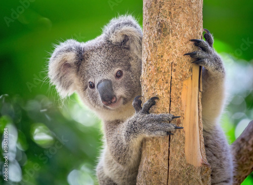 Spoed Foto op Canvas Koala Koala is on the tree.