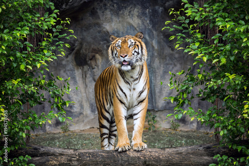 Foto op Canvas Tijger Tiger is standing in the forest atmosphere.