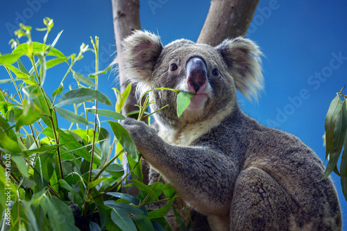 Garden Poster Koala Koala eating Eucalyptus leaves.