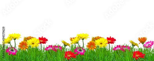 Foto op Aluminium Gerbera Frühjahr Blumenranke Freisteller