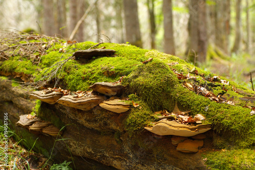 Fényképezés  Tinder fungus decomposting an old lying trunk of beech