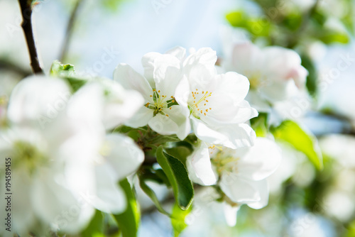 Foto op Plexiglas Lente Apple blossoms. Blooming apple tree branch with large white flowers. Flowering. Spring. Beautiful natural seasonsl background with apple tree's flowers.