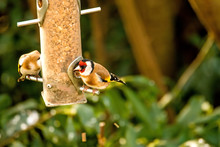 The European Goldfinch At A Fo...