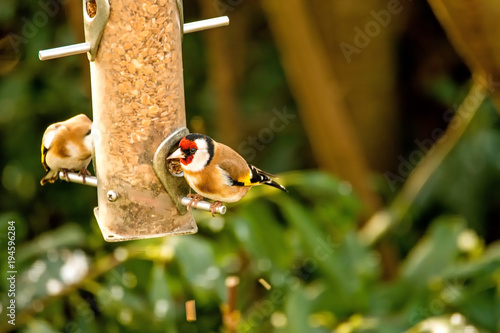 Obraz na plátně The European goldfinch at a fodder house in Germany