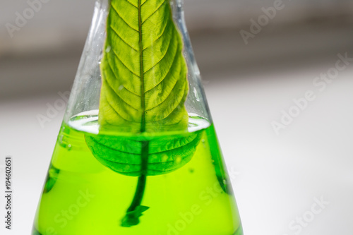 Photo Science Research leaves of Mitragyna speciosa (kratom) and Chemical analysis  in Lab