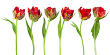 Red Tulips Parrot
