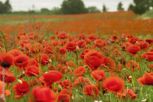 Fototapeta Close-up photo of poppy field obraz na płótnie