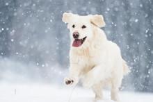 Active Dog In Winter, Breeds Golden Retriever