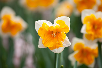 Blooming Daffodil Orangery close up