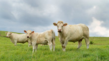 A Mother Cow Charolais Breed, ...