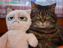 Tabby Cat And Toy Cat With Gru...