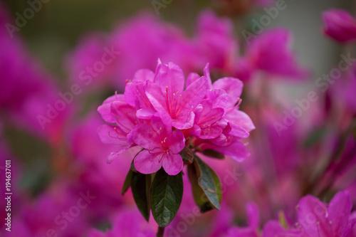 Papiers peints Azalea Bright purple rhododendron flowers with raindrops