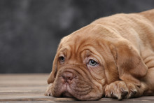 Puppy Of A Bordeaux Dog On The...