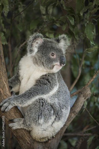 Australia, Queensland. Koala bear in tree.