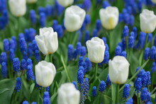 White Tulips And Blue Grape Hy...